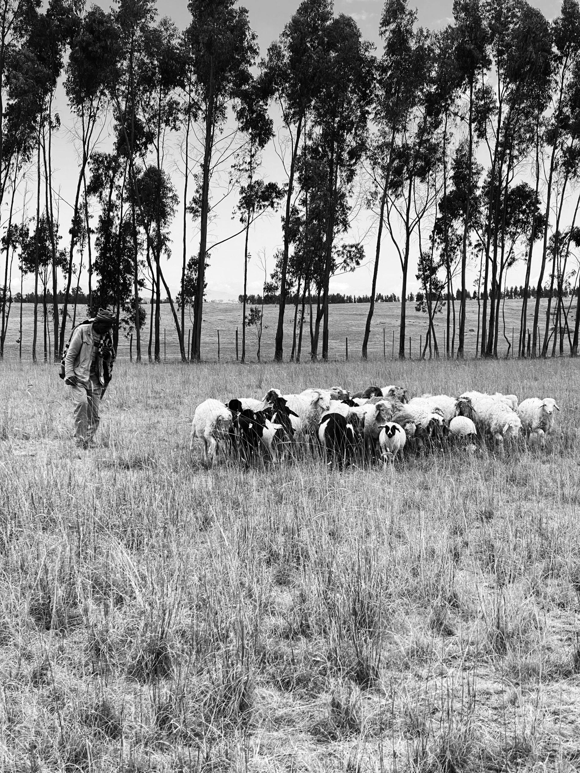 SERA HELSINKI_Our Sheep and Shepherds