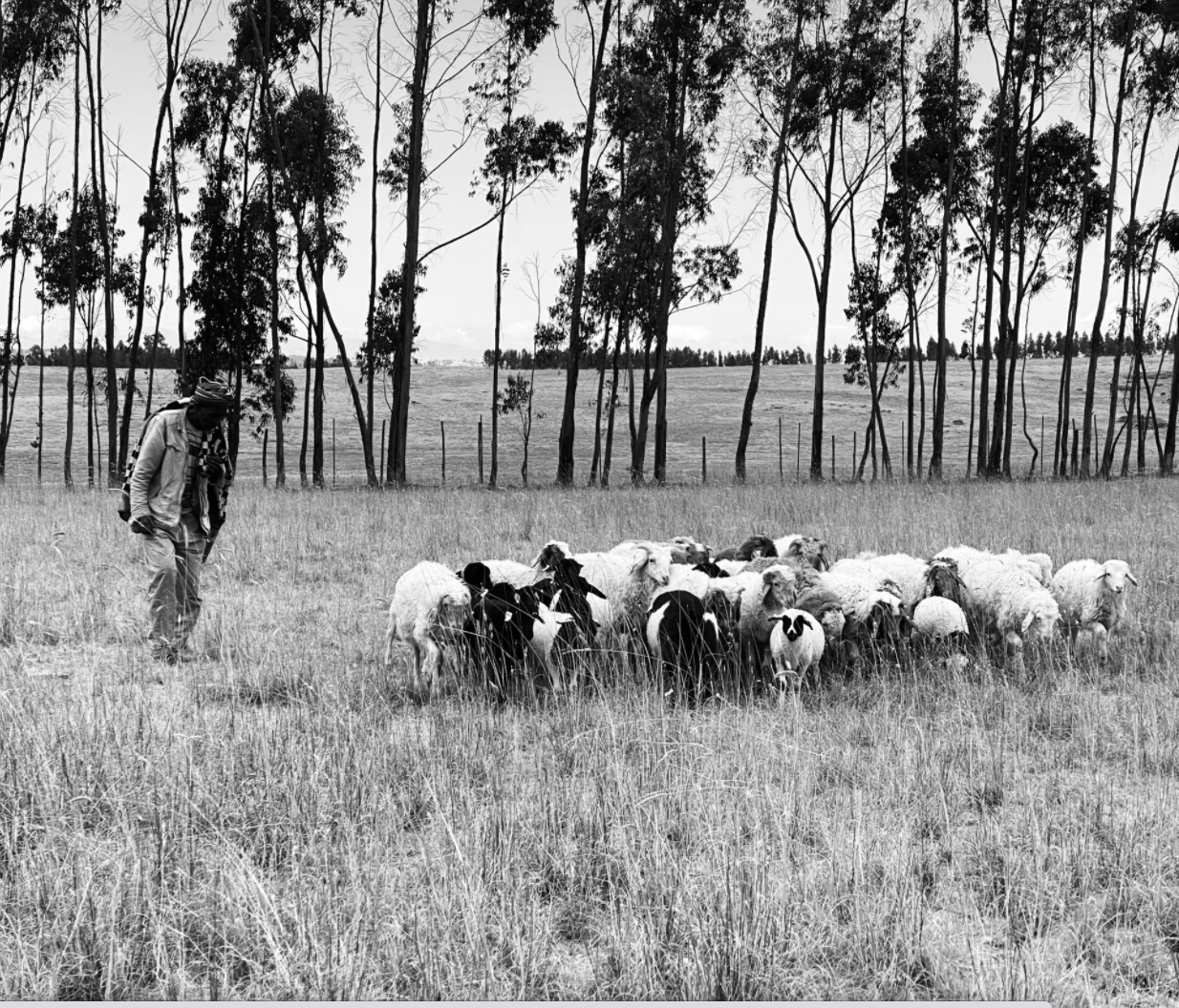 SERA HELSINKI Shepherd and Sheep in Ethiopia